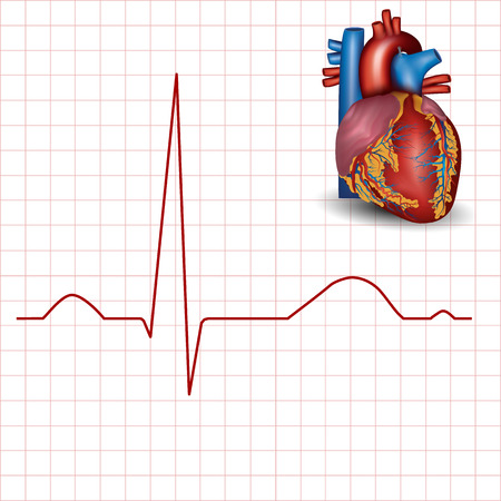 sinus: Human heart normal rhythm and heart anatomy, electrocardiogram record