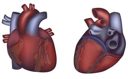 infarctus: Anatomie du coeur humain sur un fond blanc