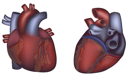 Human heart anatomy on a white background Vector