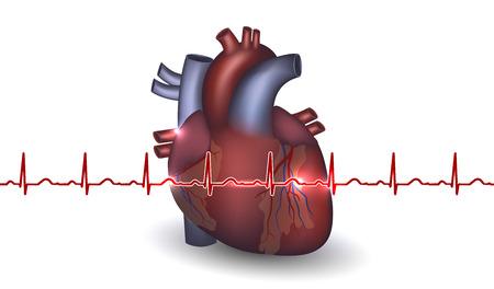 klatki piersiowej: Anatomia serca i kardiogram na białym tle