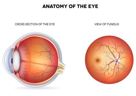 Anatomie van het oog, doorsnede en aanzicht fundus
