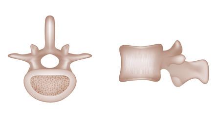 人間の背骨の椎骨の骨