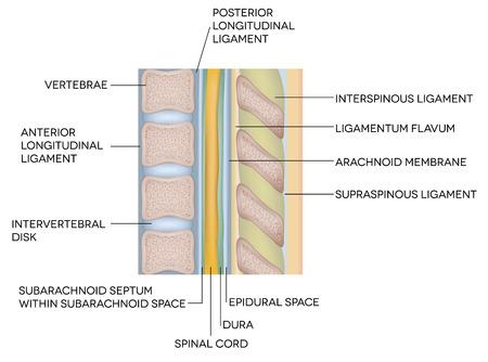 人間の背骨、椎体骨および椎骨ディスク間  イラスト・ベクター素材