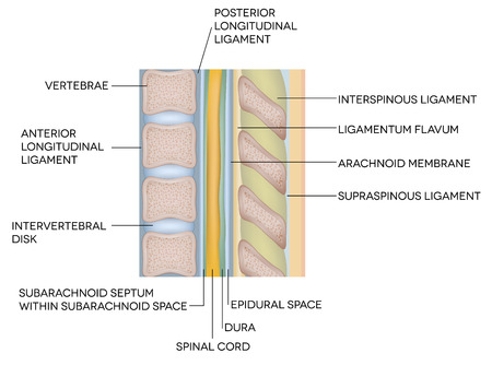 inferior: Human spine, vertebral bones and inter vertebral disks