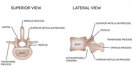 huesos humanos: Vértebras de la columna vertebral humana, características de las vértebras Vectores