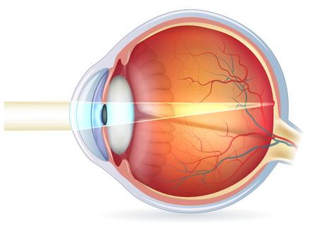 globo ocular: Anatomía del ojo, sección transversal y de fondo de ojo. Ilustración detallada. Vectores