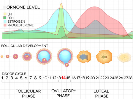 Female menstrual cycle, ovulation process and hormone levels, detailed medical illustration  Ilustração