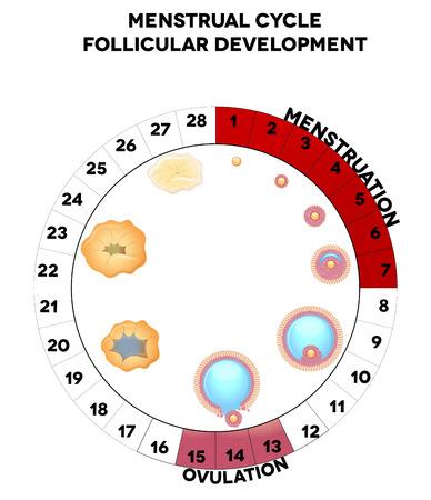 menstruacion: D�a gr�ficas ciclo menstrual, ilustraci�n detallada desarrollo folicular, la menstruaci�n y la ovulaci�n Aislado en un fondo blanco