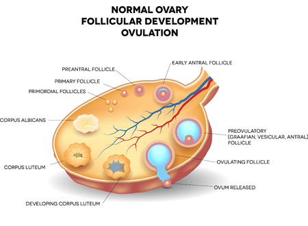 Normal ovary, follicular development and ovulation. Ovum is released from the ovarian follicles. Vector