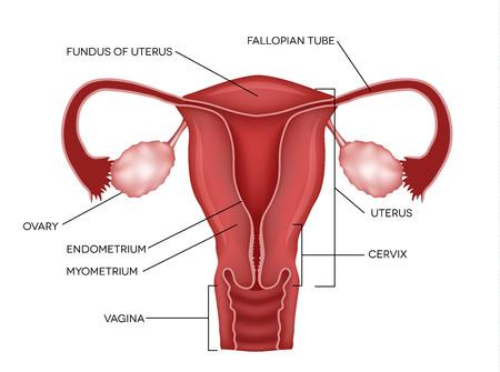 hüvely: Méh és a petefészkek, a szervek a női reproduktív rendszer Illusztráció