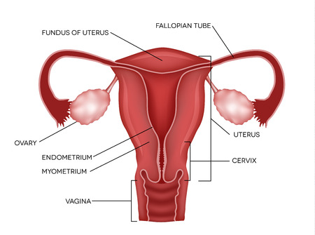 Uterus and ovaries, organs of female reproductive system Ilustracja