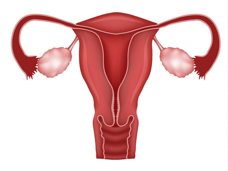 endometrium: Normal female uterus and ovaries illustration. Isolated on a white background.