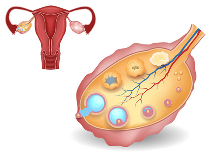 ovarian: Normal uterus and ovaries illustration. Healthy  reproductive system organs.  Illustration