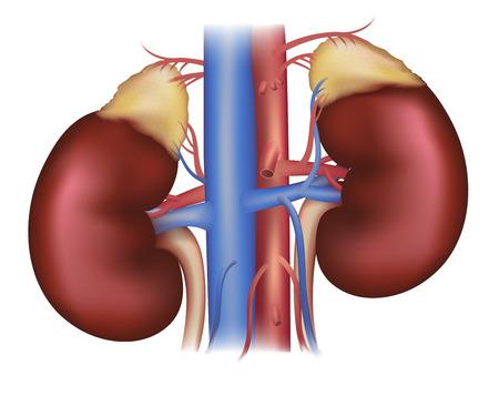 Los riñones y las glándulas suprarrenales, el suministro de sangre ilustración médica detallada aislados en un fondo blanco