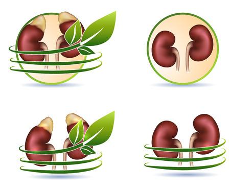 kidneys: Realistic kidneys illustrations with leaves  Healthy kidneys symbols