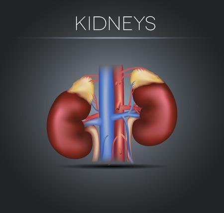 kidneys: Human kidneys on a black gradient , realistic medical illustration