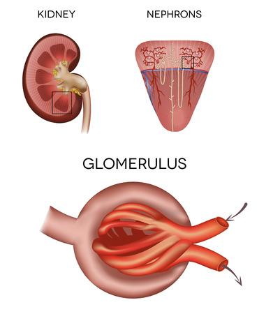 El corpúsculo y el glomérulo renal, una parte del riñón Foto de archivo - 27453897