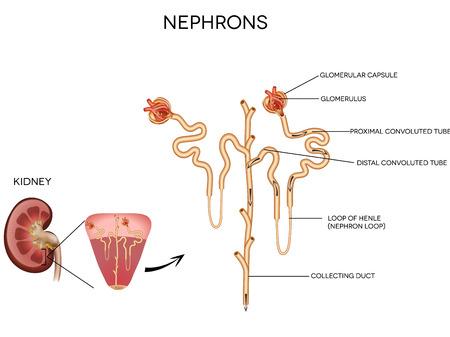 urinario: Dettagliata illustrazione medica del nefrone e glomerulo, una parte del rene
