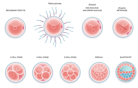 human sperm: Fertilised cell development. Stages from fertilization till morula cell.