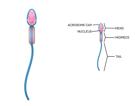 male sperm: Male sperm detailed diagram. Isolated on white. Illustration