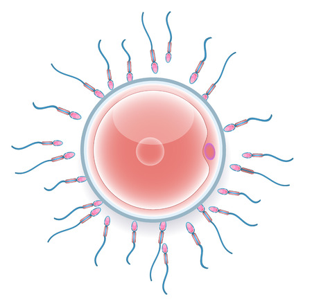ovary: Male sperm fertilize female egg. Colorful medical illustration.