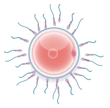 Mannelijke zaadcellen bevruchten vrouwelijke eicel. Kleurrijke medische illustratie. Stock Illustratie