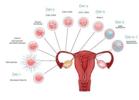 El desarrollo embrionario de ovocitos Secundaria de la ovulación, la fertilización y el desarrollo hasta la implantación del blastocisto Foto de archivo - 28462165