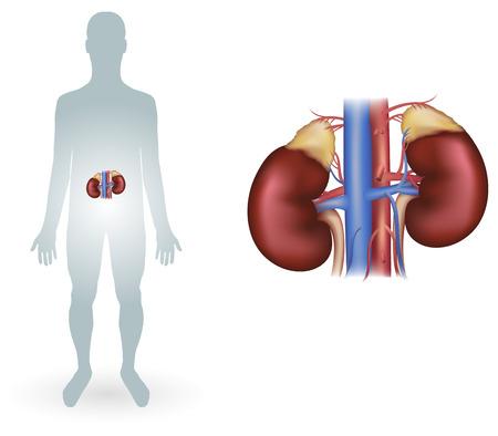 suprarrenales: Riñones humanos diagrama detallado de anatomía