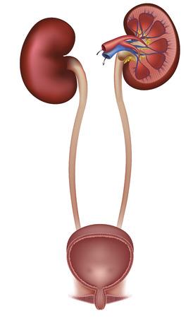 Mujer de la vejiga urinaria y los riñones, la sección transversal del riñón y la vejiga urinaria, el suministro de sangre al riñón Ilustración de vector