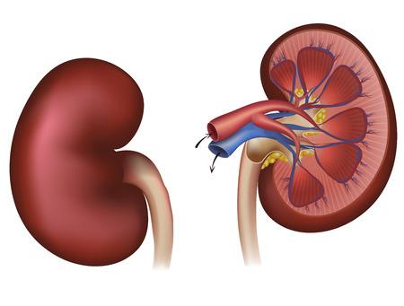 Normale menselijke nier en doorsnede van de nier bloedtoevoer