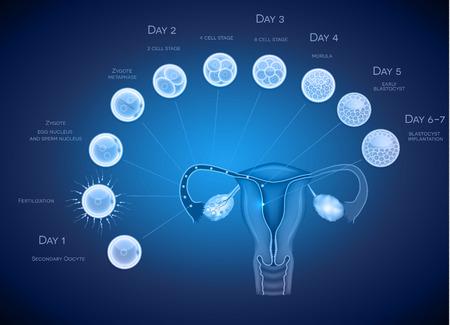 ovaire: Développement de l'embryon fond abstrait bleu. Développement jusqu'à blastocyste implantation. Illustration