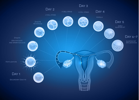 morula: Embryo development abstract blue background. Development till blastocyst implantation. Illustration