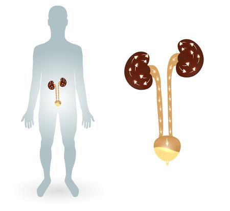 piss: Silhtouette umano e del sistema urinario, reni e vescica urinaria Vettoriali
