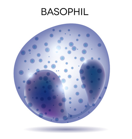 basophil: Human white  blood cell Basophil
