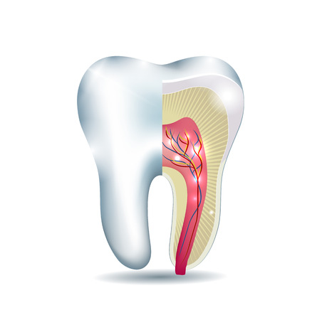 root canal: Tooth anatomy, part of the tooth is cross section, detailed anatomy.