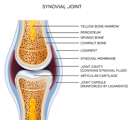 arts system: Labeled joint anatomy. Normal joint illustration.