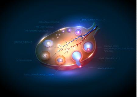 ovary: Normal del ovario femenino. Desarrollo folicular detallada.