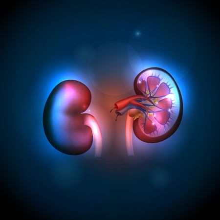 glands: Kidneys anatomy illustration, abstract blue background.