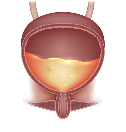 Urinary bladder with urine. Cross section of urinary bladder. Detailed illustration.