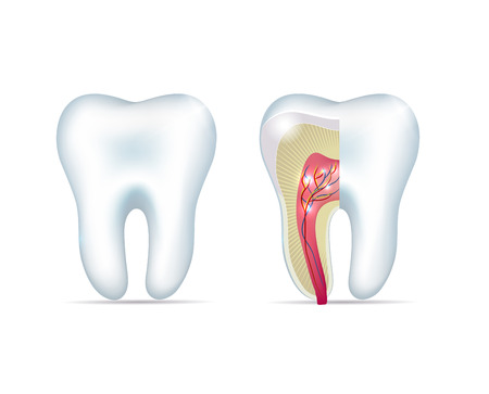 Healthy white tooth and cross section of the tooth Vector