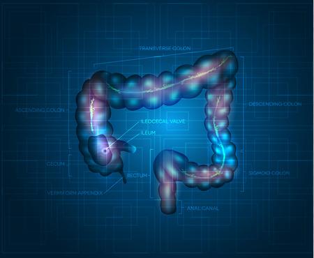 intestino grueso: Colon humano abstracto fondo azul. Ilustración detallada de dos puntos: íleon, apéndice, colon ascendente, colon transverso, el colon descendente, colon sigmoide, recto y el canal anal. Vectores
