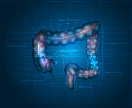 appendix: Human colon abstract blue background. Detailed illustration of colon: Ileum, Appendix, Ascending colon, Transverse colon, Descending colon, Sigmoid colon, Rectum and Anal canal.