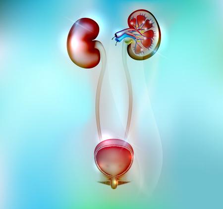 suprarrenales: Riñones humanos y la anatomía de la vejiga urinaria en un hermoso fondo azul Vectores