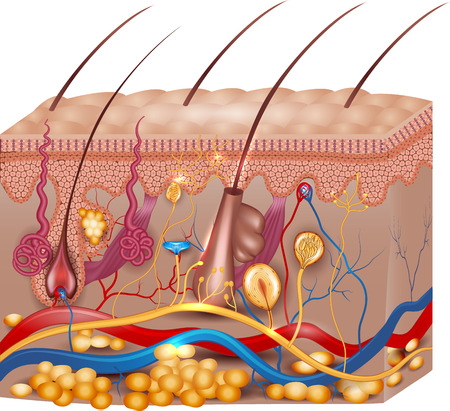 Skin anatomy. Detailed medical illustration, beautiful bright colors. 矢量图像