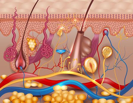 partes del cuerpo humano: La piel humana diagrama detallado. Hermosos colores brillantes. Vectores