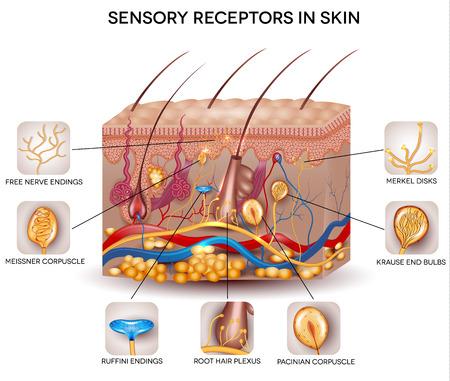 피부에있는 감각 수용체. 자세한 피부 해부학, 아름다운 밝은 색상.