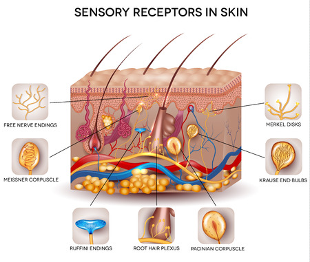 receptors: Sensory receptors in the skin. Detailed skin anatomy, beautiful bright colors.