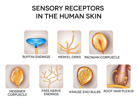 Sensory receptors in the human skin, detailed illustrations. Isolated on a white background. Vettoriali