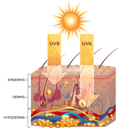 light skin: UVB and UVA radiation penetrate  into skin. Detailed skin anatomy.