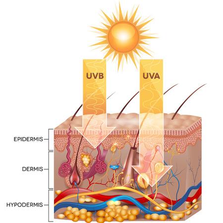 zarar: UVB ve UVA radyasyonu cilt içine nüfuz eder. Detaylı cilt anatomisi. Çizim